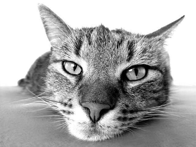 Katzenkopf Nahaufnahme