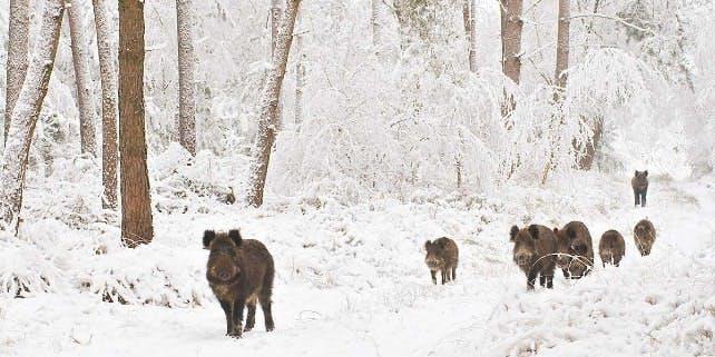 Eine Gruppe von Wildschweinen im Schnee