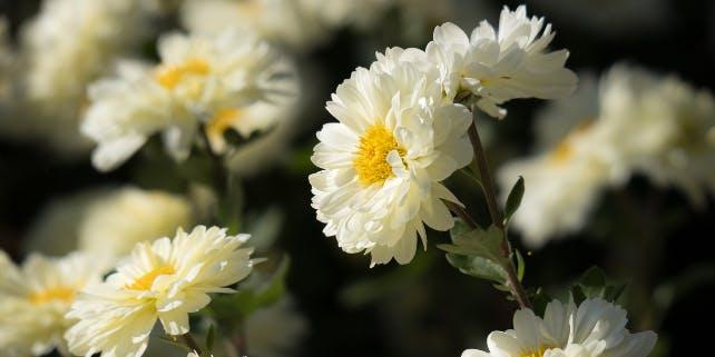 weiße Winter Aster in der Sonne