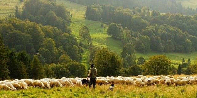 Schäfer mit Hund und seiner Schafherde