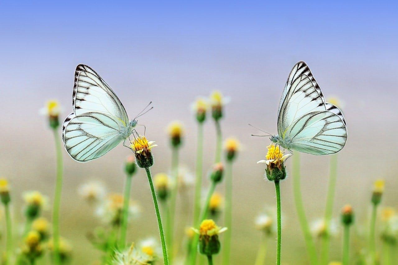 Zwei Schmetterlinge, die jweils auf einer Blume sitzen