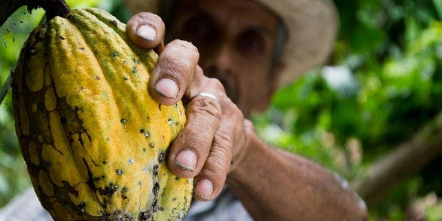 Nachhaltiger Kakao Bohne