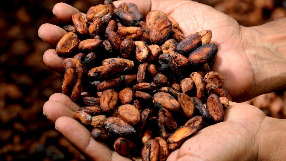 Geröstete Kakaobohnen machen den Kakao gesund